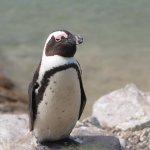 Stony Point Penguin Colony Foto