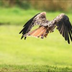 Red Kite at Gigrin Farm........