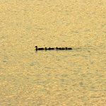 Family of mallards passing by on the golden Susquehanna River.