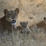 Lioness and cubs in the Mara