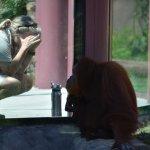 Orangutan and zoo keeper
