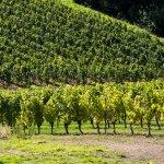 nos belles vignes