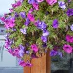 L'Alta Peyra sous les fleurs