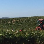 Harvest Time in Chateauneuf-du-Pape