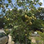 Pear tree in front of farmer's market