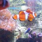 Clown fish in exhibit