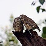 Owlet Bharatpur Bird Sanctuary