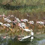 Painted Storks and Egrets Feeding