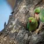 Parrot Love Birds