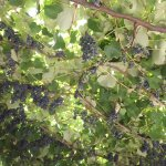 Vines with grapes at the honey shop entrance