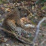 leopard after dinner