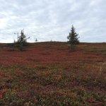 Ripbärsbuskfält