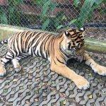 Tiger Kingdom Foto
