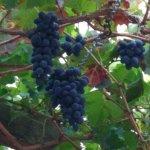 Виноград в таверне.