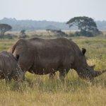 Mum and baby rhino in Nairobi National Park