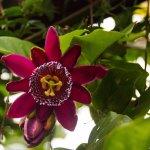 una especie diferente de mburucuyá Passiflora cuadrangularis es un ej. de las flores que allí se