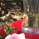 Hummingbirds EVERYWHERE! Great photo opportunity!