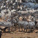 Migration at the Masai Mara