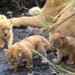 Lion Babies.....