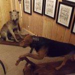 Un chien de chasse équié de son collier de protection.