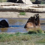 Bears just chillin