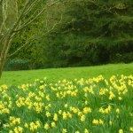Daffodil Display