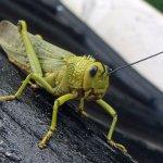 Locust Posing