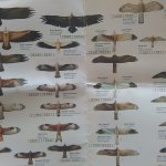fundacion migres, conservation group, provide helpful raptor id cards...