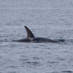 Orca swim by.