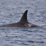 Orcas, we were able to identify which pod this one was from with saddle patch!