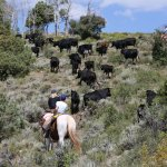 On the cattle drive ...