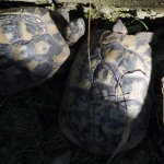 Two of the turtles that found a home in Kalimera Koukla