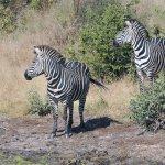 Zebre nella Riserva del Selous Sud Tanzania