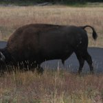 The local bison grazing