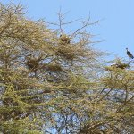 Notice the many nests. These birds, you can't tell well from the picture, are standing 3-4 ft ta