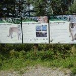 Encountering Cougars!!