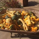 Fall squash grown on the Mineral Springs Ranch