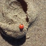 Ladybugs on the beach