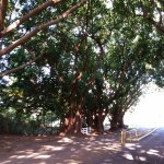 Driveway Entrance with Banyan Trees