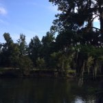 A tree with Spanish Moss beside the canal.