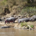 Hippos opposite our tent.