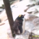 one of the penguins in a quiet area to moult