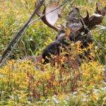 Bull moose sighting on Moose Wilson Road!