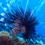 Lionfish are everywhere!