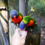 Could spend all day with the Lorikeets
