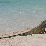 A friendly encounter with one of Curacao's beautiful iguanas