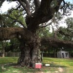 Second Largest Live Oak in Texas