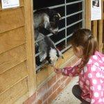 Feeding the goats!