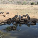 Zebra at waterhole- view from resturant