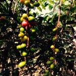 Coffee growing on farm (farm tour)